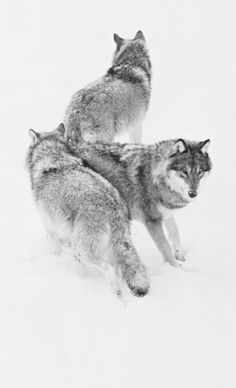 Wolfpack. I want this tattooed on my shoulder blade.