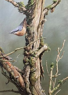"Nuthatch Painting - Size 12"" x 16"" Original British Bird Paintings For Sale - Alan M Hunt#birds #nature #bird #birdsofinstagram #wildlife #naturephotography #birdphotography #photography #birdwatching #wildlifephotography #animals #ig #of #birding #best #birdlovers #love #NUTHATCH #treecreeper #naturelovers #captures #perfection #canon #nikon #photooftheday #art #instagram #animal #birdlife Bird Paintings, Paintings For Sale, Photorealism, Birdwatching, Wildlife Art, Bird Prints, Creepers, Bird Art, Natural World"