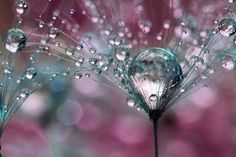 Photographer Captures Dew Drops On Dandelions Up Close