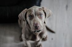Weimaraner - Dog Breed Information And Dog Care Tips - Petmoo Weimaraner Puppies, Dogs And Puppies, Baby Puppies, Sweet Dogs, Cute Dogs, Shelter Dogs, Rescue Dogs, Rescue Dog Quotes, Shelters