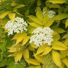 Sambucus nigra Aurea