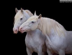 Germany. Draft Horses - Equine Photography by Ekaterina Druz