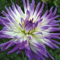 Blue Dahlia Flower | Dahlia Mingus Randy (1 tuber)