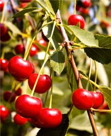 North Star Cherry - delicious cherries from a cold hardy tree (self pollinator)