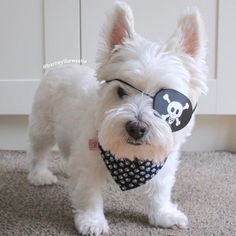 I be cap'n white beard! Here to shiver ye timbers ☠️🖤 Westie Puppies, Westies, Cute Puppies, Funny Cats And Dogs, Funny Animals, Cute Animals, Baby Dogs, Pet Dogs, Doggies