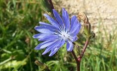 Cicoarea. Cel mai bun elixir pentru rinichi si ficat Light Blue Flowers, Lettuce Leaves, Perennials, Healthy, Plants, Therapy, Plant, Health, Perennial