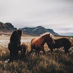 Olya Garkusha All The Pretty Horses, Beautiful Horses, Animals Beautiful, Wild At Heart, Animals And Pets, Cute Animals, Icelandic Horse, Horse Photography, Horse Love