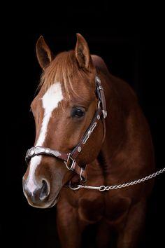 Beautiful sorrel quarter horse <3