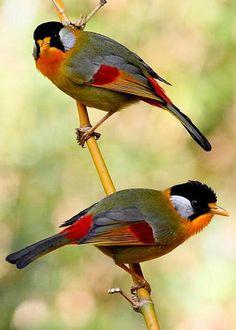 Silver-eared Mesia birds