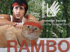 Rambo is a cat in adopt who loves going on adventures, especially with his famous counterpart, Sylvester Stallone. He is 5 years old, front declawed, and loves a good nap curled up next to his favorite human.
