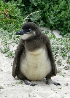 Penguin chick, Boulders Beach, South Africa