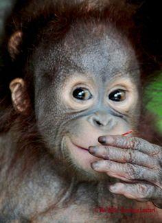 Orangutan ~ opps... excuse me.  I think I ate that last banana, too quickly.