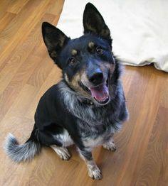 Rodeo SPONSORED is an adoptable Australian Cattle Dog (Blue Heeler ...