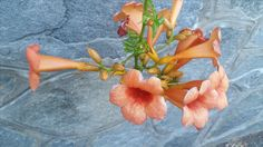 Trompetenblüte Innsbruck, Plants, Summer, Flowers, Plant, Planets