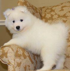 simoid dogs | Samoyed Puppies