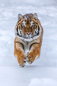 "souhailbog: ""  Running Tiger 