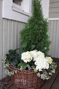Tuija, valkoinen hortensia ja muratti sopivat hienosti yhteen. White Gardens, Small Gardens, Outdoor Gardens, Container Plants, Container Gardening, My Secret Garden, Green Plants, Outdoor Projects, Flower Pots