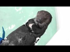 Sea otter pup Ellie plays, trains, and gets treated - May 3, 2016 - More at today's Daily Otter post: http://dailyotter.org/2016/05/03/videos-sea-otter-pup-ellie-plays-trains-and-gets-treated/