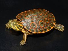 Belize Slider turtle so pretty! Red Ear Turtle, Tortoise Turtle, Turtle Love, Baby Tortoise, Types Of Turtles, Kawaii Turtle, Land Turtles, Wood Turtle, Turtle Images