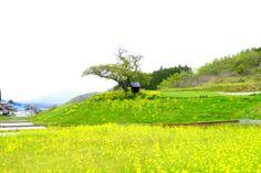 菜の花畑に包まれる小沢の桜.