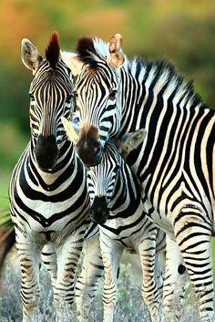 CHAD COCKING  Zebras