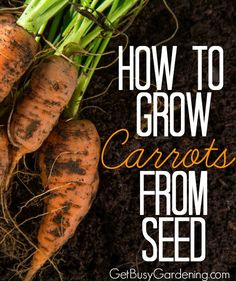 I gave up on growing carrots because they were always deformed and not very large. Now I know what I've been doing wrong. I can't wait to try growing them again using the tips in this post.