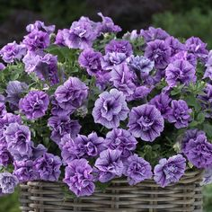 Kerrattu petunia Double Violet Vein
