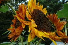 amazing Sunflowers...