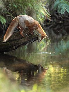 Red Fox by Francois Ribeaudeaux