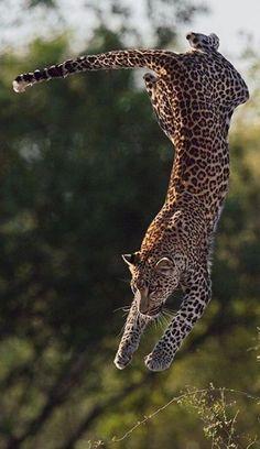 cheetah #leopard  www.pinterest.com/pin/380413499758112999/ --- plus.google.com