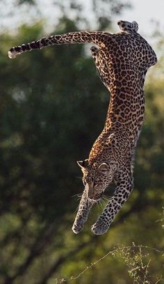 cheetah #leopard  www.pinterest.com/pin/380413499758112999/ --- plus.google.com