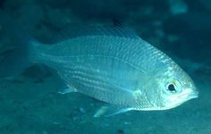 Common Silverbiddy, Gerres subfasciatus - It is usually observed in schools over sandy bottoms.