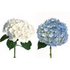 Hydrangea Assorted Premium Wholesale Bulk Flowers