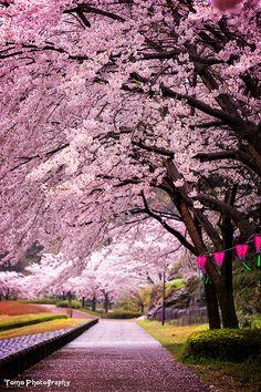 lifeisverybeautiful: Cherry Blossom, Nagasaki, JapanSakura Arch by WindyLifeCherry Blossom
