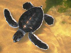 Turtle Conservation Project, Kosgoda, Sri Lanka (www.secretlanka.com)