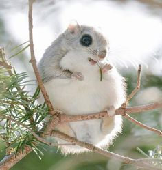 Russian flying squirrel(Pteromys volans orii)エゾモモンガ