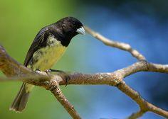 papa capim ou coleiro baiano_sporophila nigricollis Brazilian Birds