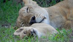 Africa | Sleepy lions in Selous, Tanzania | Photographer ?