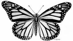 Photo: Monarch, Danaus plexippus. Natural History Notebooks ca (Canada)