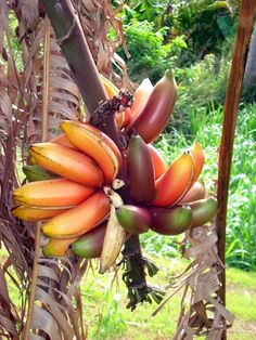 There are banana varieties that shall withstand temperature drops and grows well in containers or pots, popular especially among the enthusiasts of exotic tropical fruit plants. Banana Plants, Fruit Plants, Fruit Trees, Colorful Fruit, Tropical Fruits, Tropical Garden, Tropical Plants, Types Of Fruit, Fruit And Veg