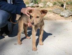 Hund, Mischlingshund (Mischling, Hündin, 6 Monate) Spanien
