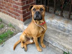 Brooklyn Center  REX - A0998627  MALE, BROWN / BLACK, MASTIFF, 1 yr STRAY - STRAY WAIT, NO HOLD Reason STRAY Intake condition NONE Intake Date 05/03/2014, From NY 11210, DueOut Date 05/06/2014, https://www.facebook.com/photo.php?fbid=797652153580999&set=a.617941078218775.1073741869.152876678058553&type=3&theater