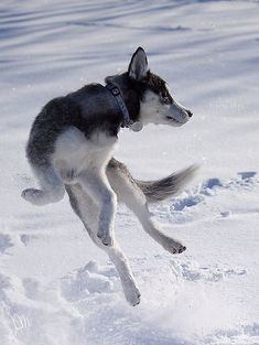 Wonderful All About The Siberian Husky Ideas. Prodigious All About The Siberian Husky Ideas. Husky Husky, Siberian Husky Puppies, Siberian Huskies, Alaskan Husky, Corgi Puppies, Alaskan Malamute, Animals Beautiful, Cute Animals, Black Lab Puppies