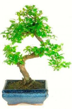 Die 30+ besten Bilder zu Bonsai tische in 2020 | bonsai