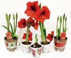 6 rád, ako pestovať amarylis - Ako a Prečo? Bonsai Tree Types, Potted Plants, Flower Decorations, Hibiscus, House Plants, Natural, Home And Garden, Herbs, Gardening
