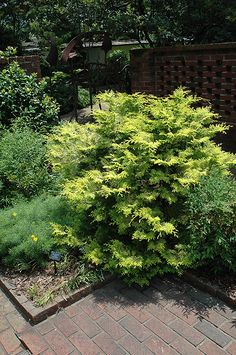 Cripps Gold Falsecypress (Chamaecyparis obtusa 'Crippsii') | Some say huge 30' x 25', but other say  8-10'T x 3-4' wide | Lurvey Garden Center