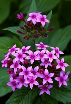 Egyptian Star Flower Cluster