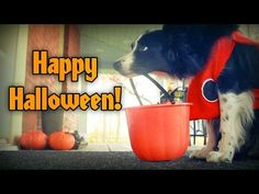 Nana The Border Collie Goes Trick Or Treating : Video Clips From The Coolest One
