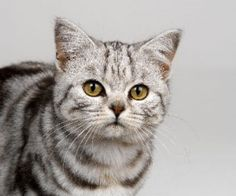 British Shorthair Cat - I will one day own you..