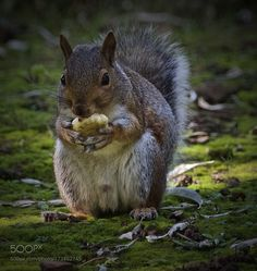 squirrel by elliotmorris123 #animals #animal #pet #pets #animales #animallovers #photooftheday #amazing #picoftheday